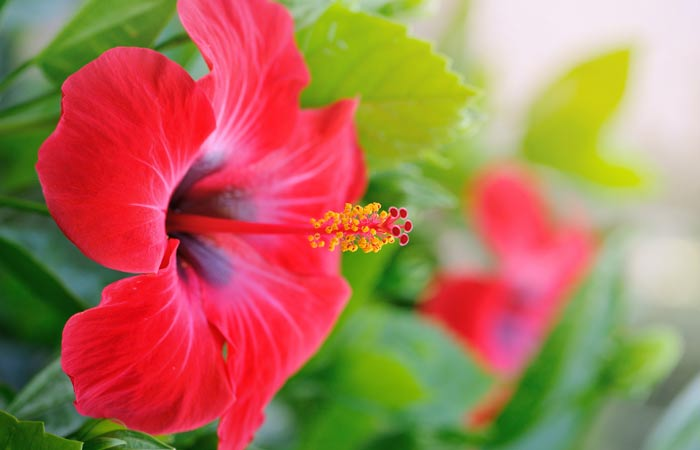 Unbelievable Health Benefits Of Hibiscus