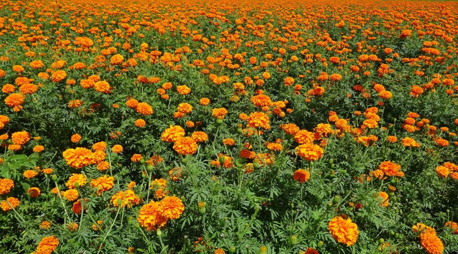 Benefits & Uses Of Marigolds For Health